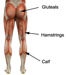 Lower body muscles